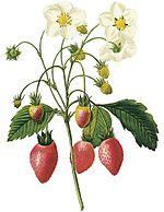 Vintage-strawberries-flowers-clip-art1